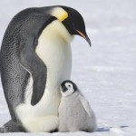 Male Emperor Penguin nuzzling chick